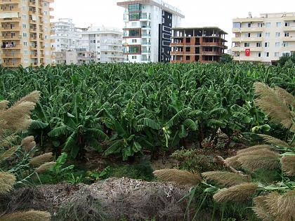 Нажмите на изображение для увеличения Название: Пальмовая плантация.jpg Просмотров: 195 Размер:99.2 Кб ID:53