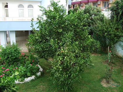 Нажмите на изображение для увеличения Название: Лимонное дерево.jpg Просмотров: 176 Размер:99.1 Кб ID:50